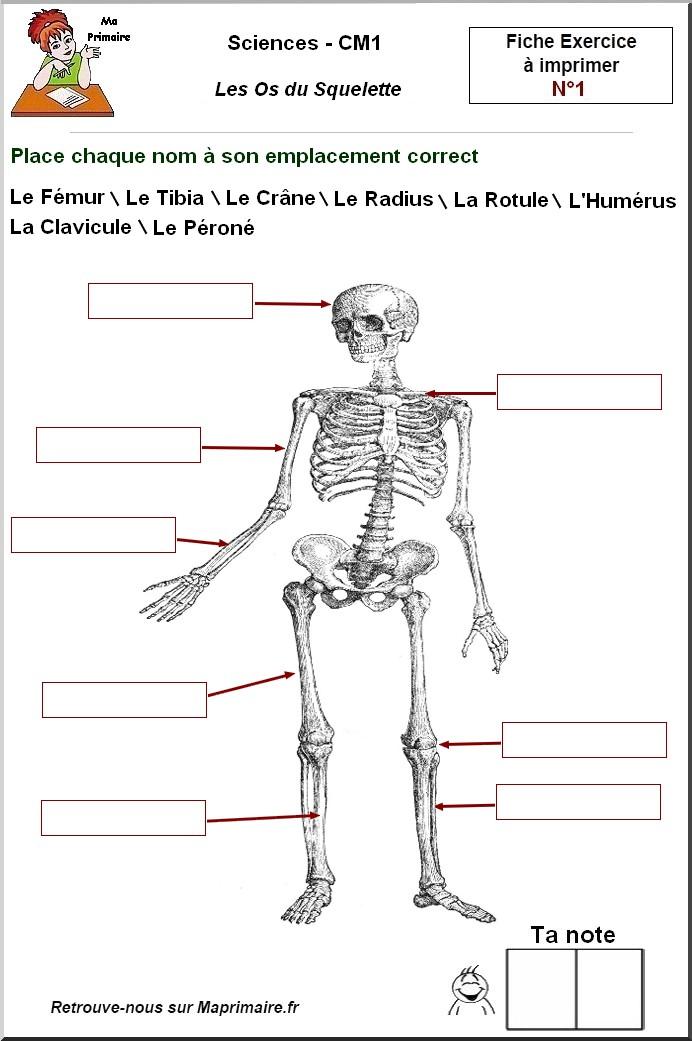 CM1 > Les os du squelette - Classe de primaire